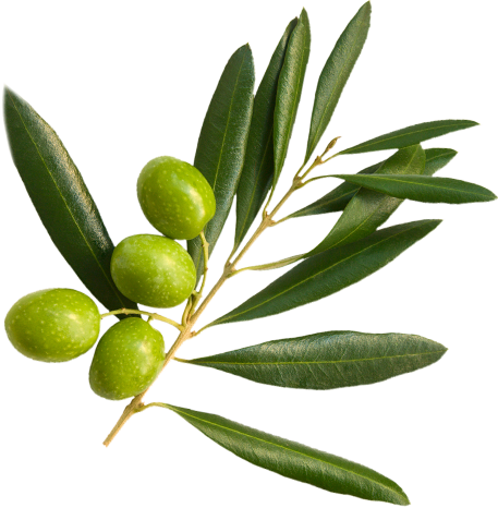 Olives in an olive branch