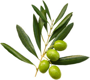 Olive branch with olives and leaves
