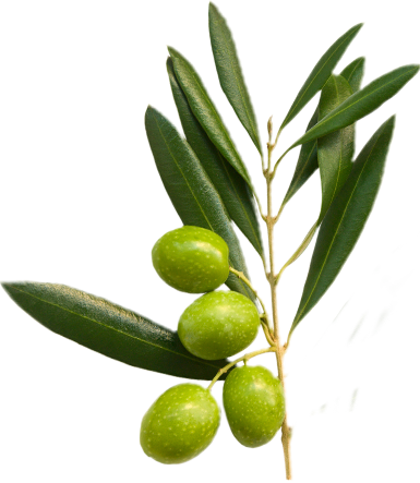 Olive tree branch with olives
