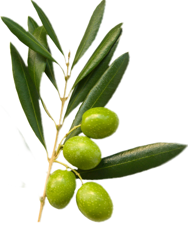Green olives in an olive branch