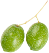 Two green olives in a branch